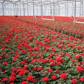 Bedding Plant Production